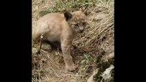 Un lynx boréal voit le jour dans le parc naturel des Pyrénées catalanes pour la première fois depuis un siècle