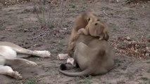 Bébé lion s'amuse à sauter sur papa