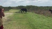 Ce cheval va donner une bonne leçon à un alligator