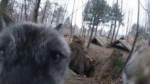 Ce loup attend la visite de son dresseur avec impatience