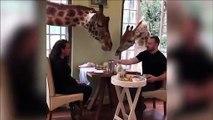Dans ce resto vous mangez avec les girafes...