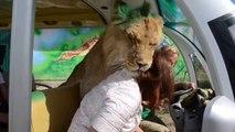 Les lions de ce parc sont vraiment très affectueux avec les visiteurs