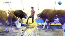 Hayvan Yetiştiricileri Yem Fiyatlarının Pahalılığından Şikayetçi
