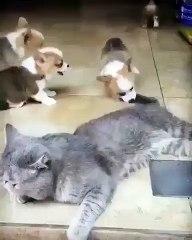 Cette chatte a vraiment beaucoup de patience envers les chiots. Mignon !