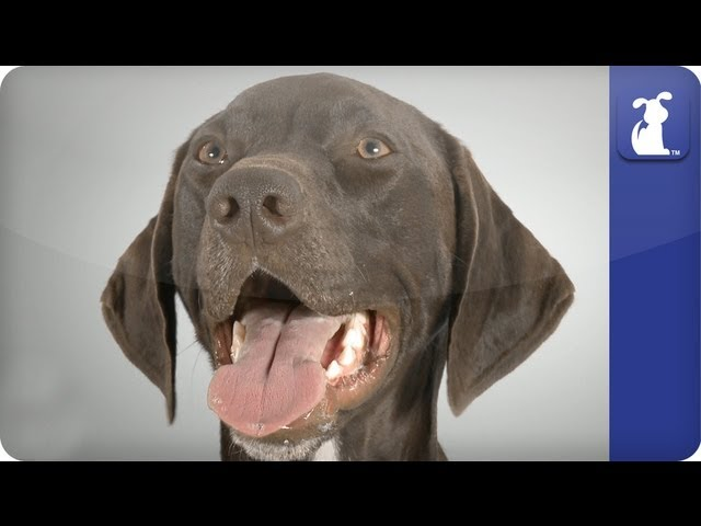 German Short Haired Pointer – Doglopedia