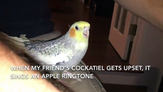 Cute birb sings apple ringtone because it's upset that its owner will leave.