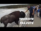 Les bisons de Yellowstone n'aiment pas que les touristes les caressent