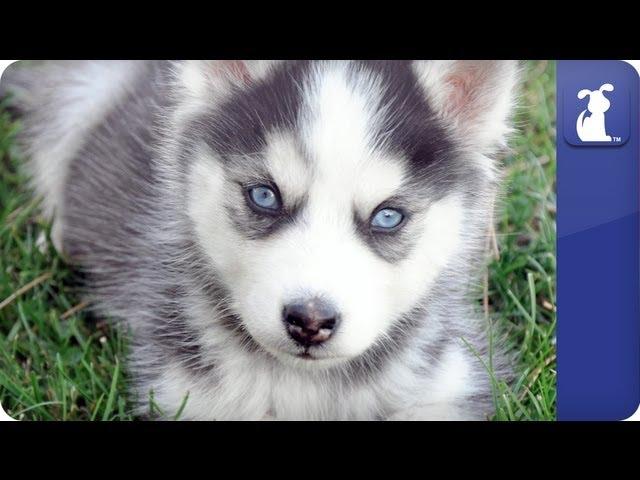 Siberian Husky – Doglopedia