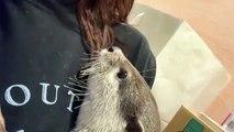 Ce bébé raton-laveur va vous faire fondre. Adorable !