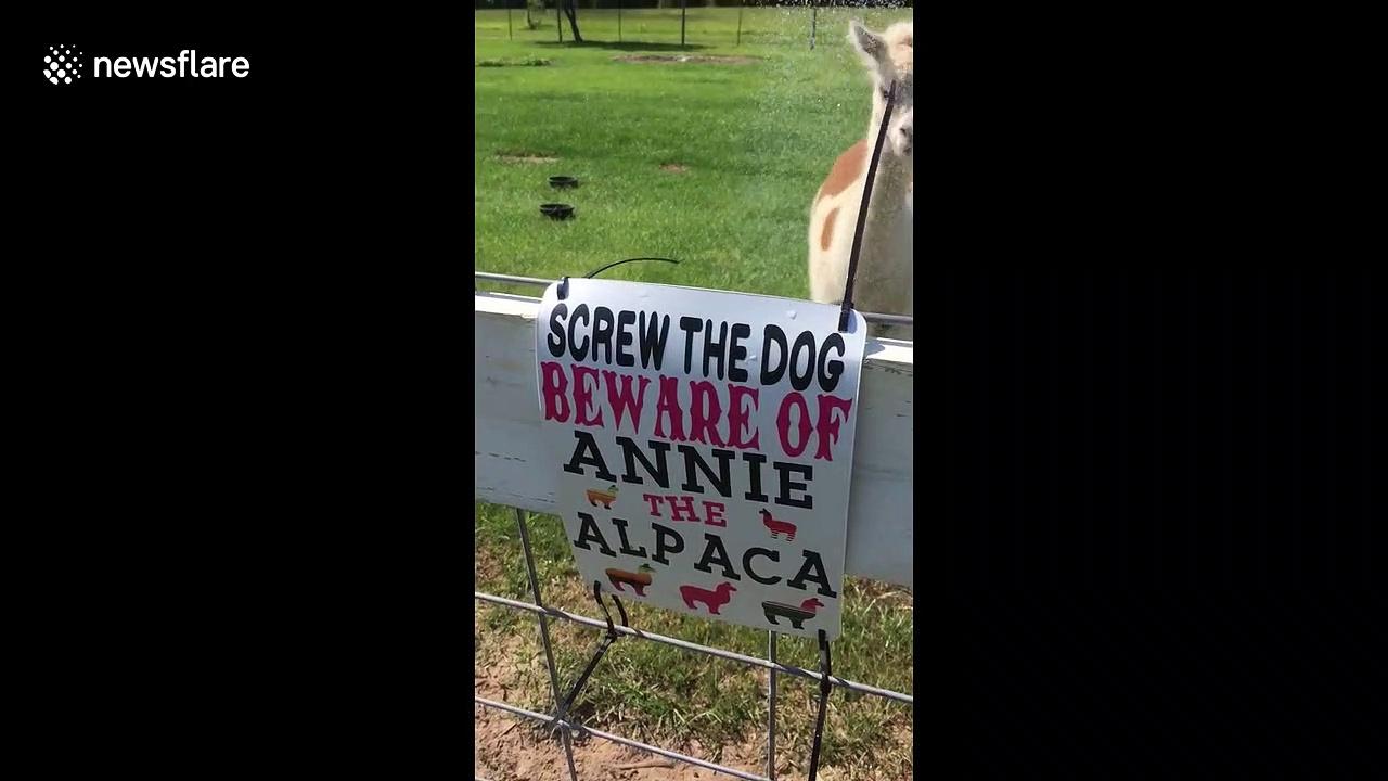 Annie the angry alpaca takes a bath in baking Texas heat