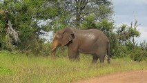 SOUTH AFRICA elephant's relief (pipi and caca), Kruger nat. park (hd-video)