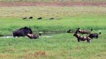 Cães selvagens atacam antilope o ñus |animals, battle, fighting
