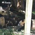 Quand une maman panda essaie de séparer ses enfants qui se battent. Trop chou !