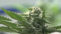 Some newly developed marijuana strains are much more potent