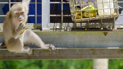 These Hungry Macaques Are Planning a Heist
