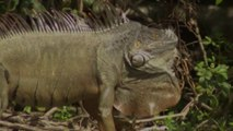 Green iguanas  Florida officials clarify that they dont want people to go out and kill them whenever