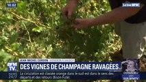 À un mois des vendanges, la pluie et la grêle ont ravagé des vignes de champagne