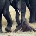 Ce nouveau bébé éléphant se fait aider par sa maman. Trop mimi !