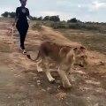 Cette femme marche avec les lions comme une vraie amazone. Admirez la !