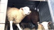 """Opération """"bien être des moutons"""" avec la police de la zone Bruxelles-Ouest"""