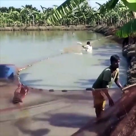 Amazing Fishing!Big Fish Hunting By Net From Bugdhani Pond Of Dalas