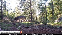 California's Only Known Wild Gray Wolf Pack Spotted With 3 New Pups