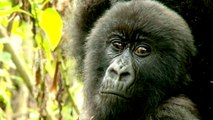 Mountain gorillas of Central Africa slowly increase in number