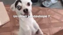 Un sublime chien aux yeux vairons