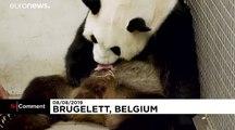 Naissance rarissime de jumeaux pandas géants dans un zoo belge