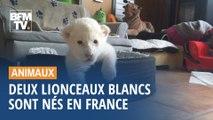 Ils s'appellent Nala et Simba, ces deux lionceaux blancs sont nés en Normandie