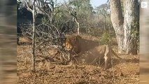 Two lions from the Kruger National Park of South Africa dig into the earth to find their prey