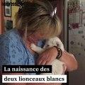 Deux lionceaux blancs nés en France