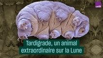 Tardigrade, un animal extraordinaire sur la Lune