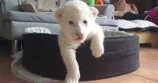 Simba et Nala, deux adorables lionceaux blancs, sont nés en Normandie