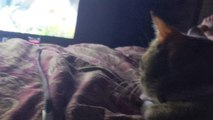 Cat Enjoys Watching Pet Collective Videos
