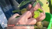 Mirabelles : les saisonniers sont payés au seau