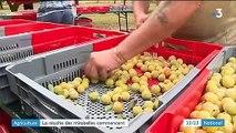 Sécheresse: la récolte des mirabelles commence avec un peu de retard