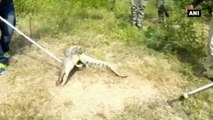 Watch -  Crocodile Rescued From Residential Compound