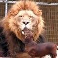 Incroyable !! Cette chienne n'a pas froid aux yeux ! Elle embrasse un LION !!