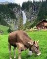 Quand une vache produit une jolie musique avec son collier, voici ce que ça donne !!