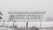Des kangourous parcourent  les plaines enneigées à  Goulburn, en Australie !