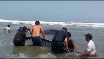 Une baleine de 10 mètres sauvée par des surfeurs sur une place au Pérou