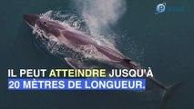 Finistère : un rorqual de 12 mètres retrouvé mort sur la plage de Penmarch'h