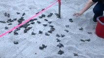 Babyschildkröten schlüpfen an Strand in Florida