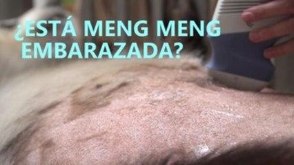 ¿Está Meng Meng embarazada?