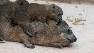 Tiny trio of rock hyrax pups born at Chester Zoo