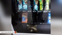 Feeling Trapped? This Raccoon Knows The Feeling
