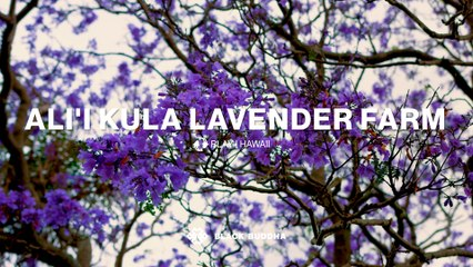 Experience Vibrant Lavender Gardens in the Heart of Maui