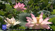 700년 잠에서 깨어난 '아라홍련'…분홍빛으로 물들어