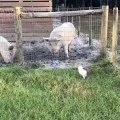 Ce bébé cochon s'est trouvé de nouveaux amis. Regardez !